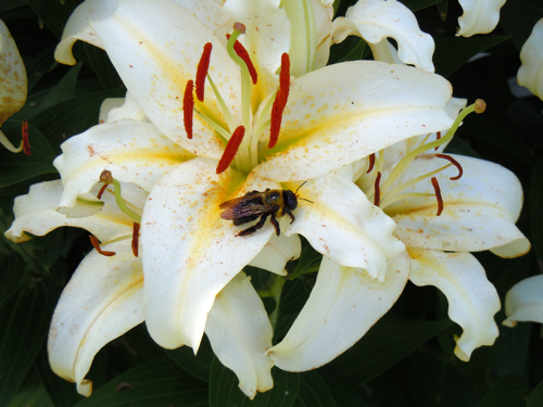 Bee on lily bloom