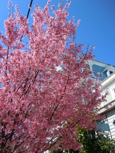 Cherry Tree Downtown