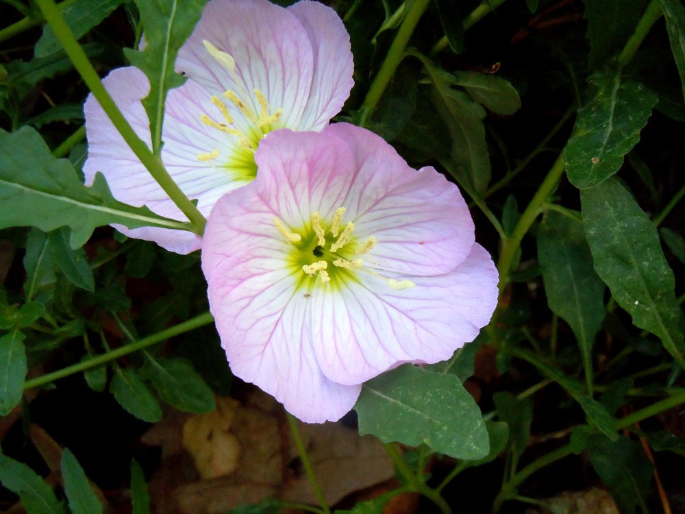 Detail of Mexican Primrose