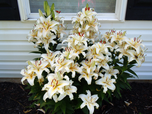 More lily blooms