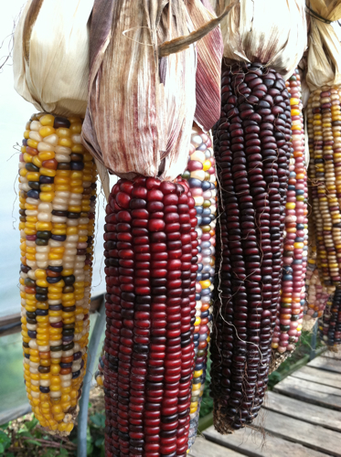 Indian Corn