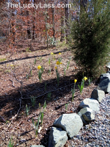 Blooming Daffodils