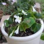 Blooming Shamrocks