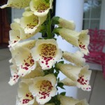 Foxglove Detail 2012