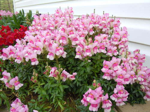 Lovely Pink Explosion Snapdragon