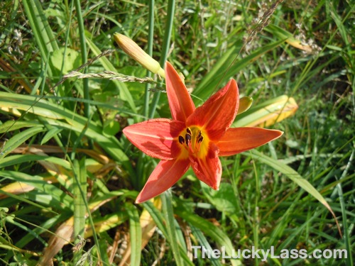Blooming DayLily