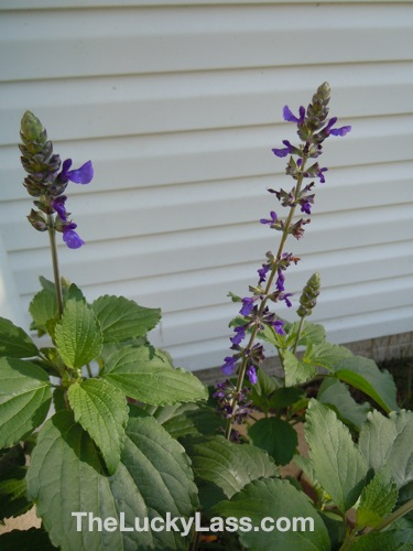 Salvia in front