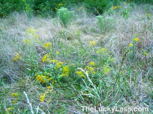 Lots of Goldenrod