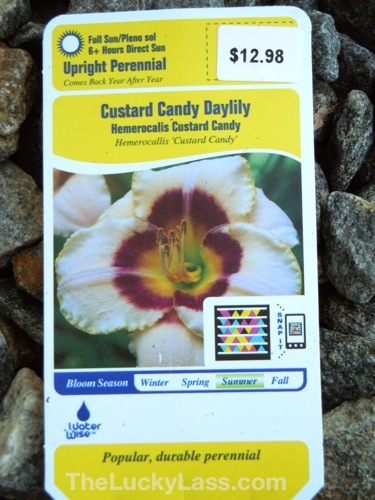 New Daylily to plant