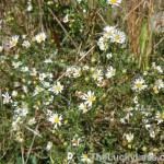 Fleabane