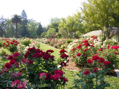 Wedding Site at McKinley Rose Garden
