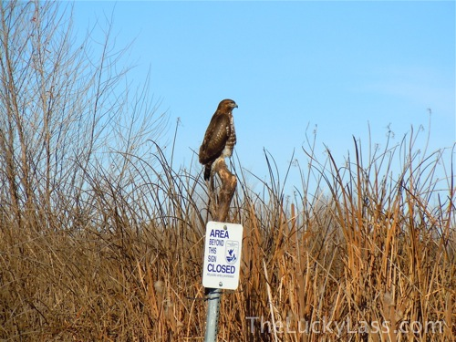 Red Tailed Hawk Keeping Watch