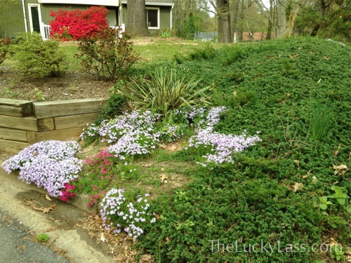 Phlox on other side of driveway