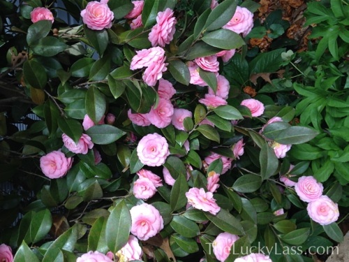 Pink Camelia Exploding with Blossoms