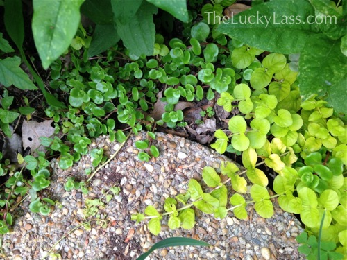 Creeping Jenny and Sedum