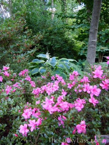 Blooming Azalea and Hosta
