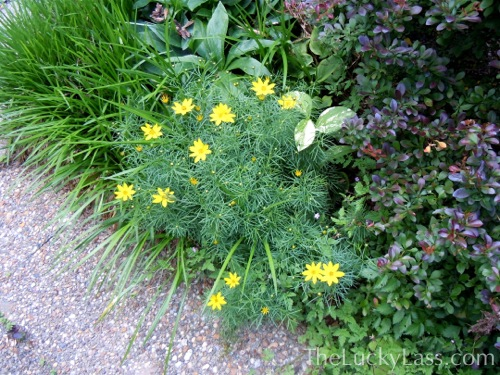 Coreopsis with Barberry