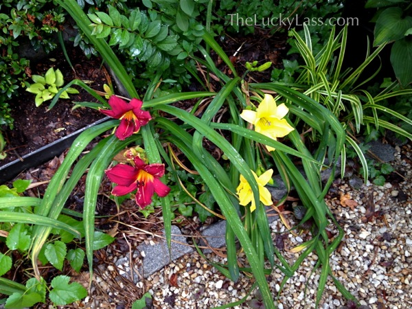 Daylilies in lower garden