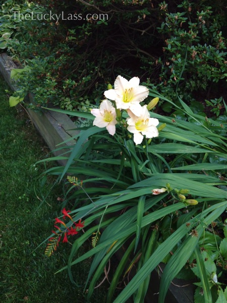 Daylily and Crocosmia