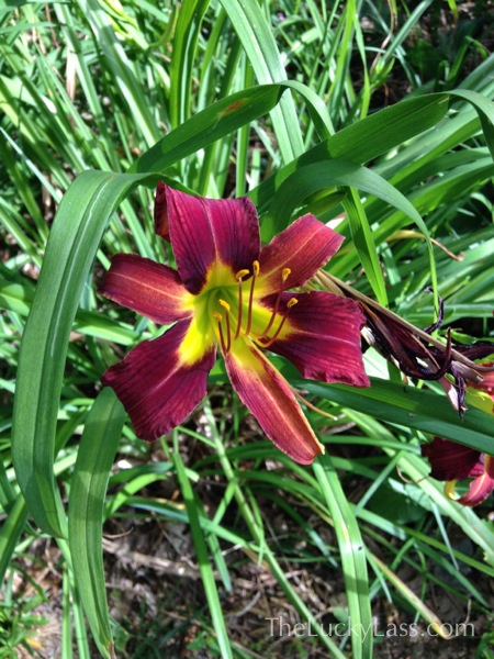 Daylily at edge of property