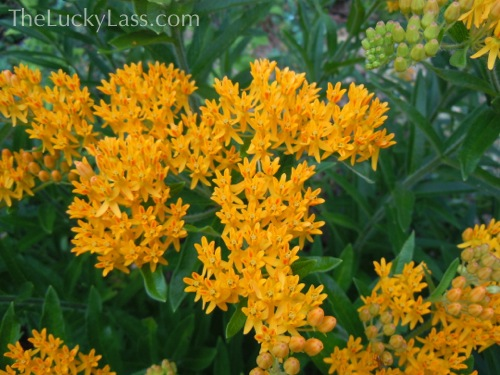 Detail Butterfly Weed