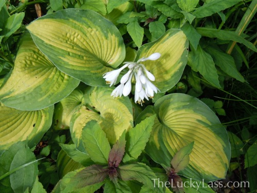 Hosta Blooming