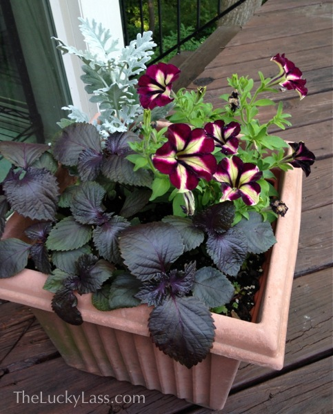 Planter with Petunias, Dusty Miller, and Shiso