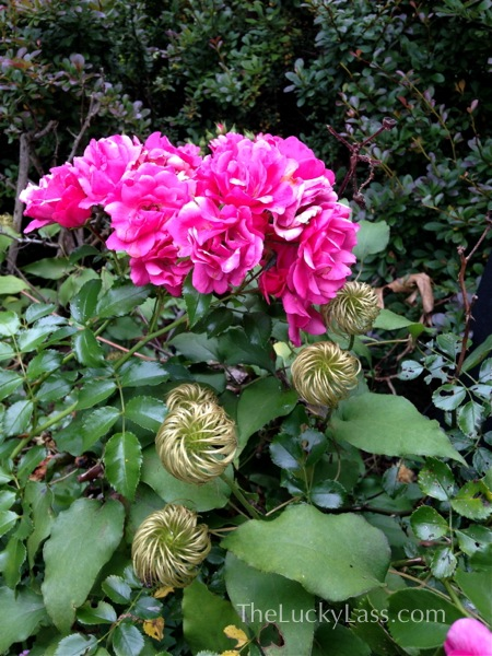 Roses with Clematis seed head