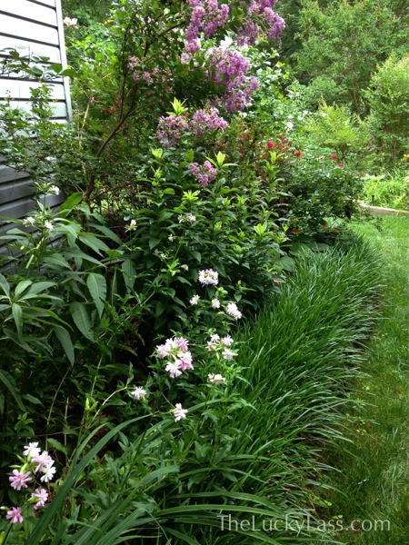 Side Yard with Crape Myrtle