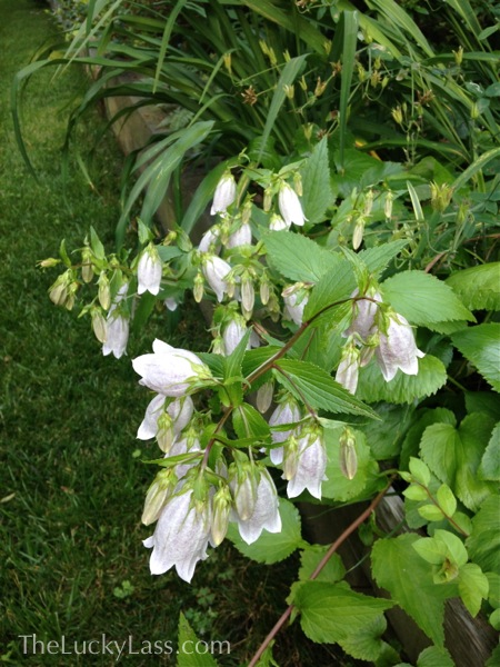 Spotted Bellflower or campanula