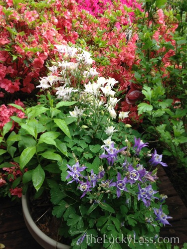 Three Different Colored Columbines