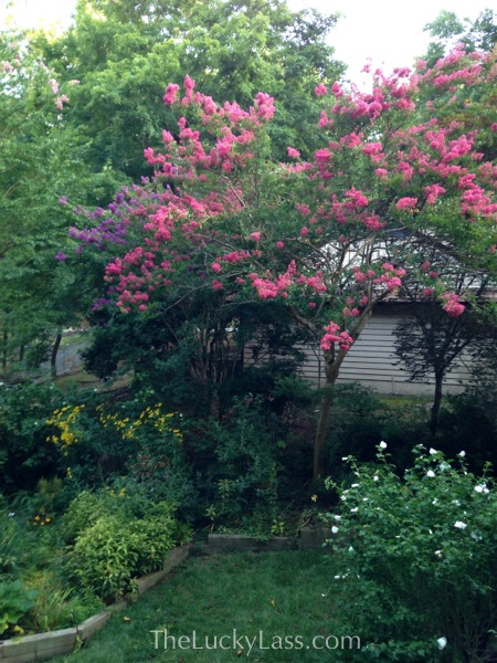 Crape Myrtle and more
