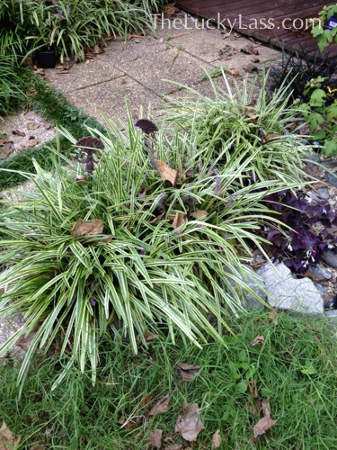 Before - Lots of Liriope