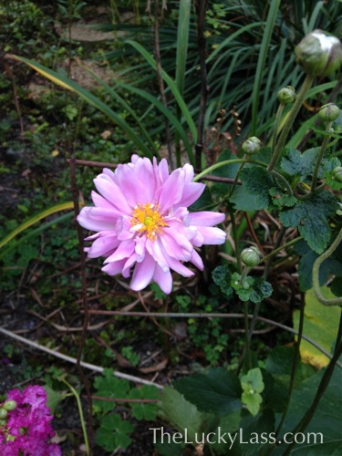'Party Girl' Japanese Anemone