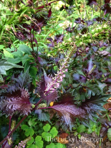 Red Shiso detail