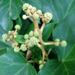 Tree-Ivy Shrub flower buds