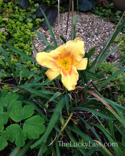 Surprise Daylily