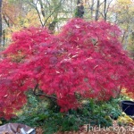 Queen Crimson Japanese Maple