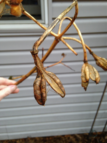 Asiatic Lily dried pods