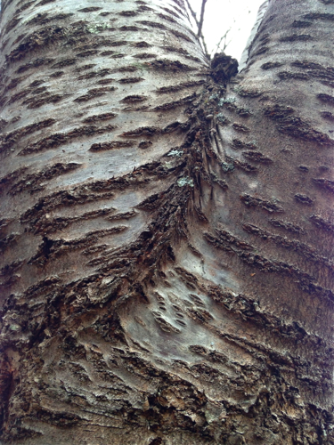 Bark of a Cherry Tree