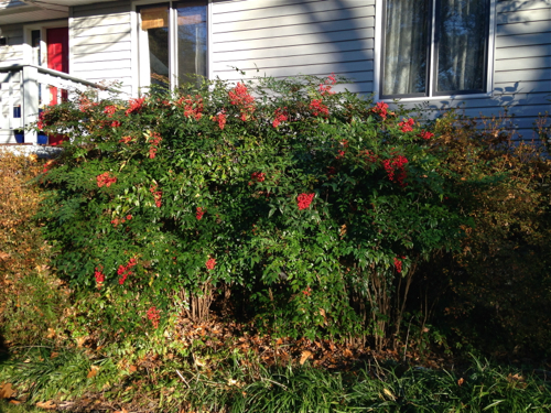 Nandina in Front Dec 2014