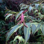 Rainbow Leucothoe in winter