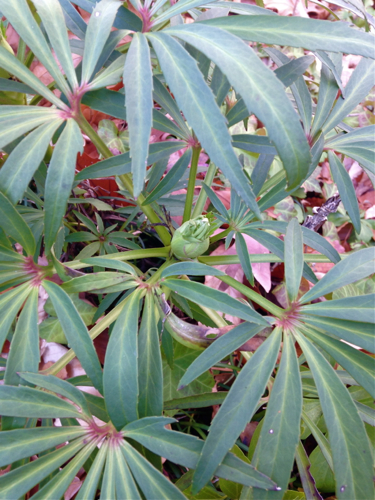 Stinking Hellebore fall growth