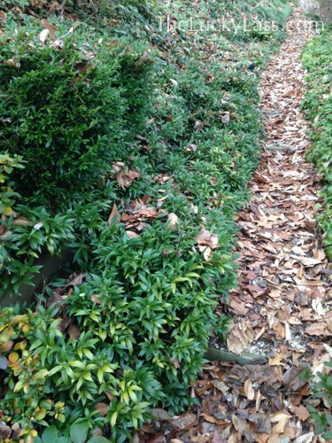 Unidentified Evergreen Groundcover