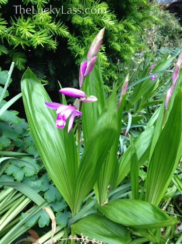 Bletilla or Hardy Orchid
