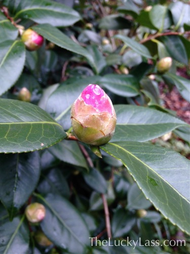 Camilia Bud with Color Showing