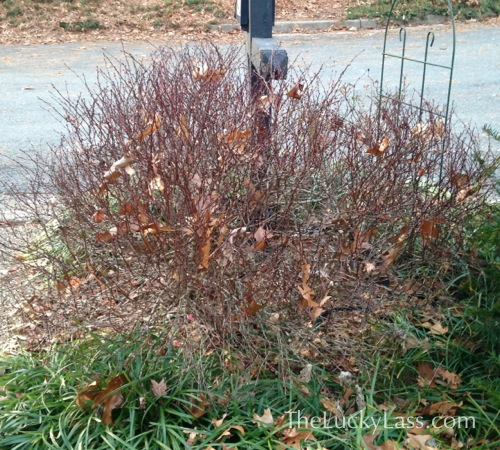 Deciduous Barberry Bush