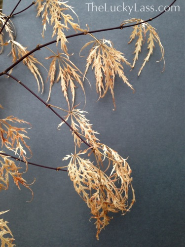 Dried Leaves of the Japanese Maple 'Crimson Queen'