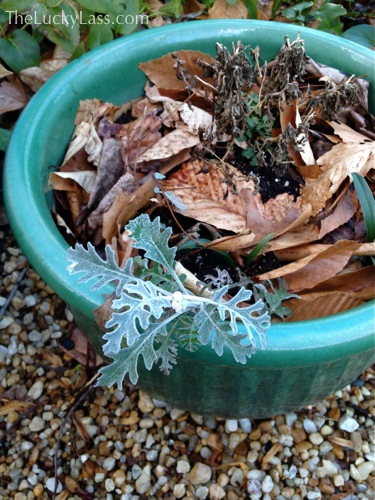 Dusty Miller hanging on