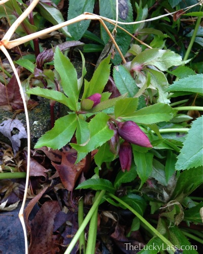 Hellebore Flowers Coming up
